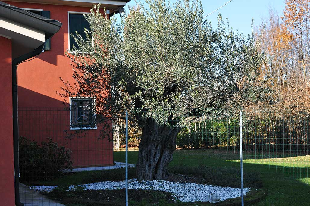 Gallery vivai gardens vivai gardens for Aiuola con olivo